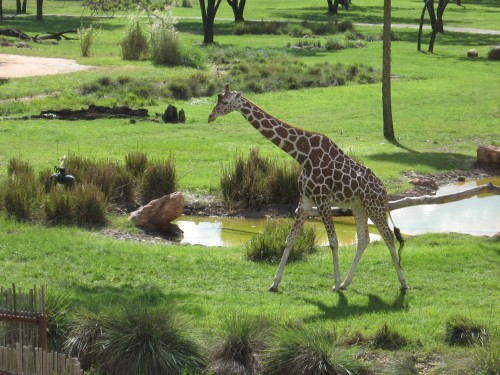 Giraffe viewed from our balcony