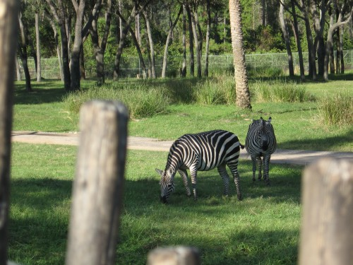 Zebras - there were quite a few zebras out