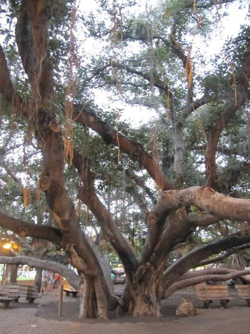 A huge Banyan Tree took up 2 acres in a park in Lahaina. Gorgeous.
