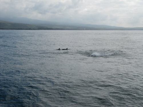 Dolphins on our boat/snorkeling tour to the Napali coast